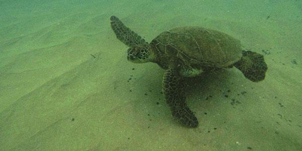 Skildpadder ved Black Rock - Kanapali